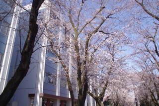 神奈川工科大学構内の桜